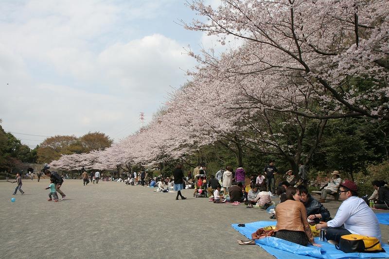 桜満開の芹が谷公園