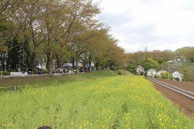 尾根緑道の菜の花